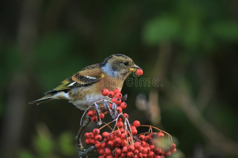 Brambling bird, Fringilla montifringilla, in winter plumage feeding berries. Closeup of a brambling bird, Fringilla montifringilla, in winter plumage feeding stock image