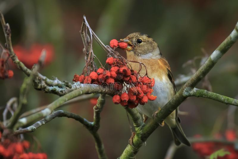 Brambling bird, Fringilla montifringilla, in winter plumage feeding berries. Closeup of a brambling bird, Fringilla montifringilla, in winter plumage feeding royalty free stock image