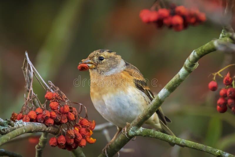 Brambling bird, Fringilla montifringilla, in winter plumage feeding berries stock images
