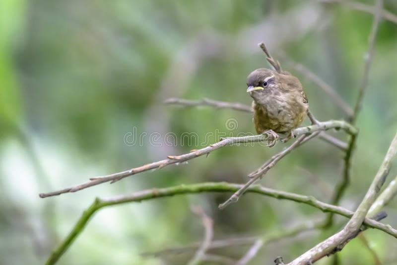Wren perching on branch in briti. Wildlife uk. Brambling (Fringilla montifringilla) perching on branch in british woods.Protected specie of bird.Nature stock image