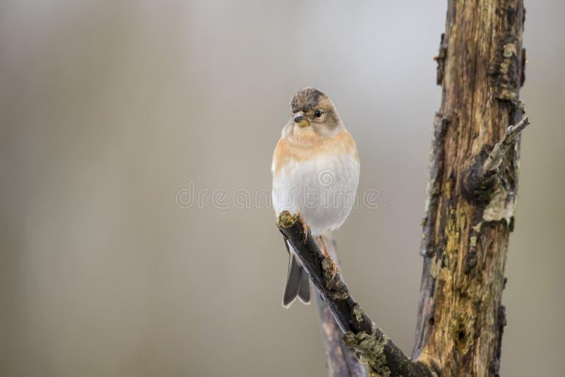 Brambling, Fringilla montifringilla ptak zdjęcie stock