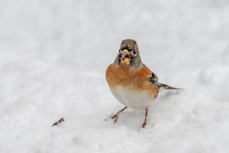 Brambling Fringilla montifringilla in snow searching for food royalty free stock photo