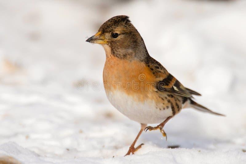Brambling Fringilla montifringilla stands on the snow royalty free stock photography
