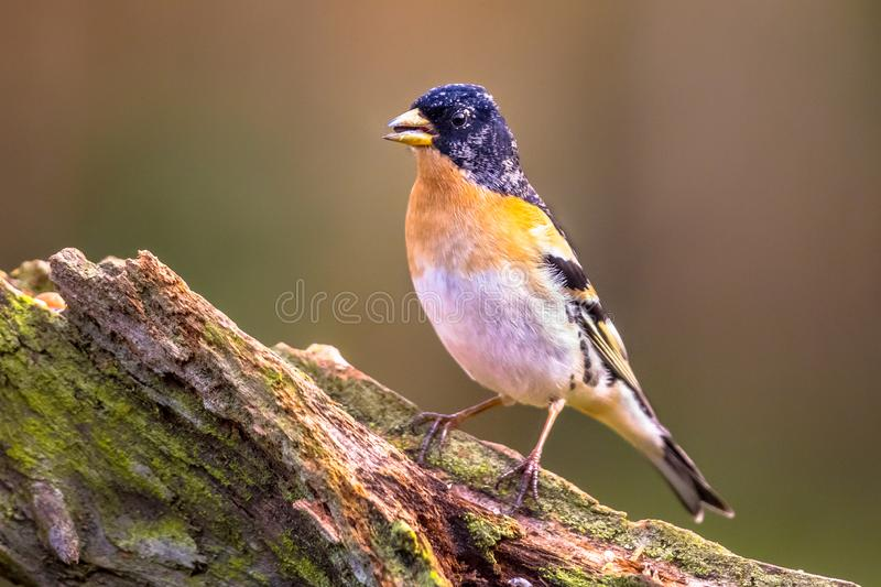 Brambling passerine bird royalty free stock image