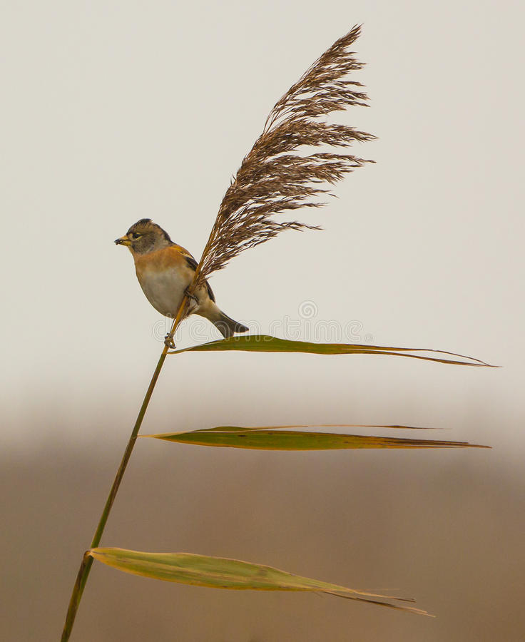 Brambling on reed royalty free stock images