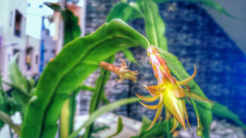 Bramha Kamala kwiat zdjęcia stock