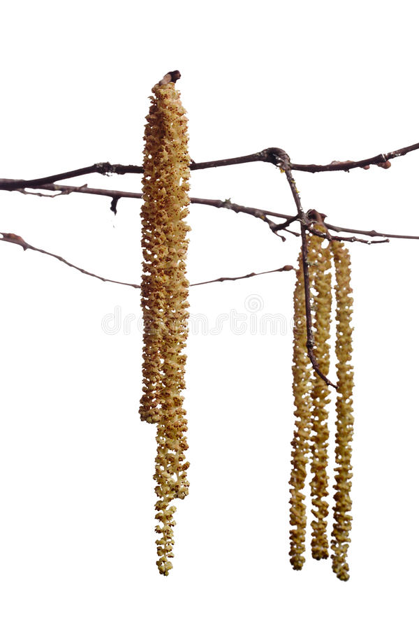 Branch an alder. Alder branch with catkins. The spring season royalty free stock photo