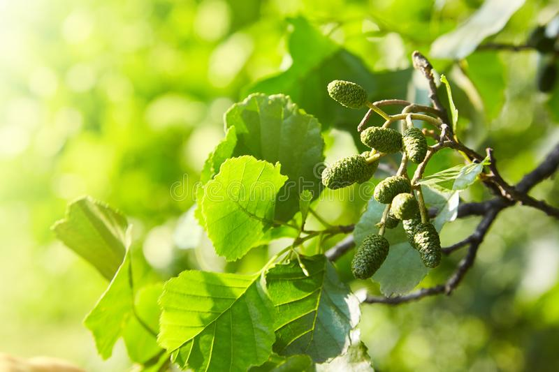 A branch of alder leaves and green cones. Branch of Alnus glutinosa royalty free stock photo