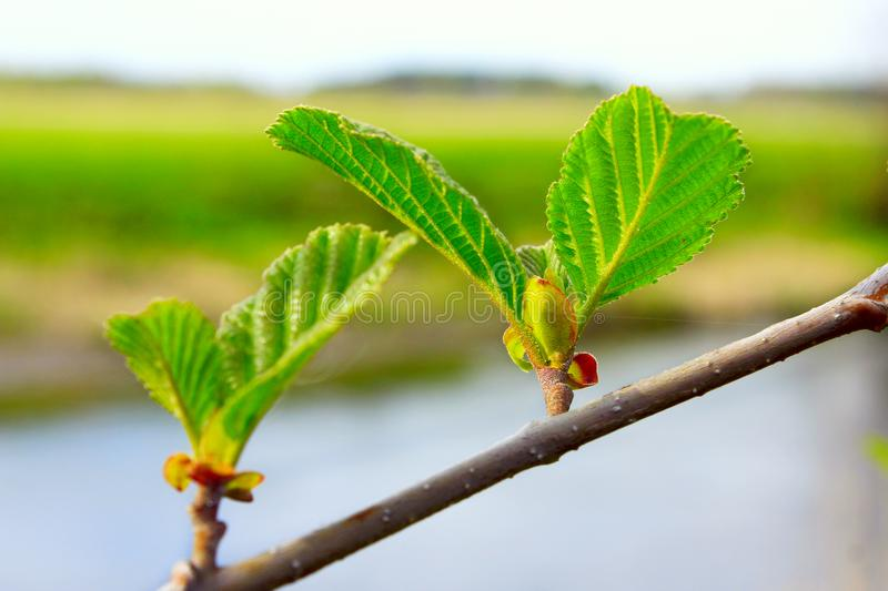 Branch of alder in the spring royalty free stock image