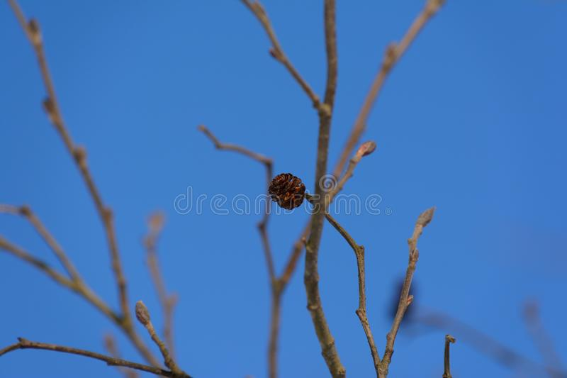 Branch of alders with cones against a clear blue sky. Branch of alders with cones against a clear sky stock images