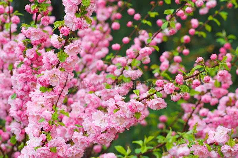 Branch of almond with beautiful pink flowers stock image