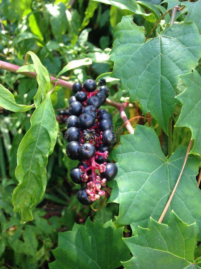 Branch of American Pokeweed (Phytolacca Americana) Plant with Berries. royalty free stock photography
