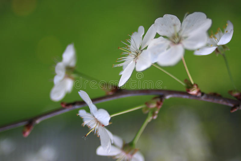 Branch of apple blossom royalty free stock photography