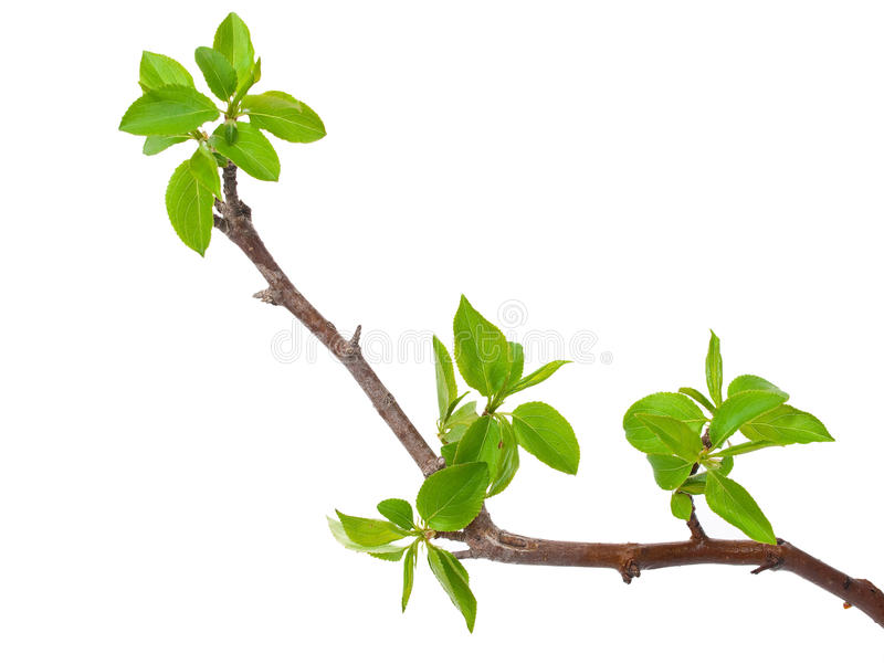 Branch apple tree royalty free stock photography