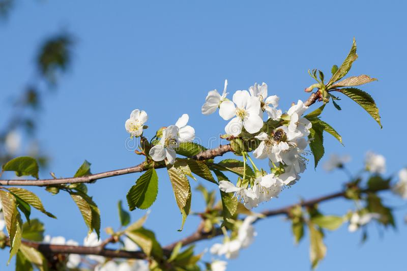 Branch of apple tree with flowers over blue sky. Branch of apple tree with young green leaves and white flowers over springtime blue sky stock photo