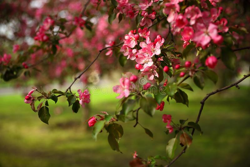 A branch of an apple tree with pink flowers stock photography