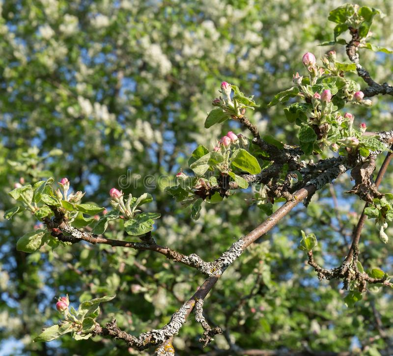 A branch of an Apple tree, with young green leaves and pink blossoming flowers on a background of young blossoming greens. royalty free stock photography