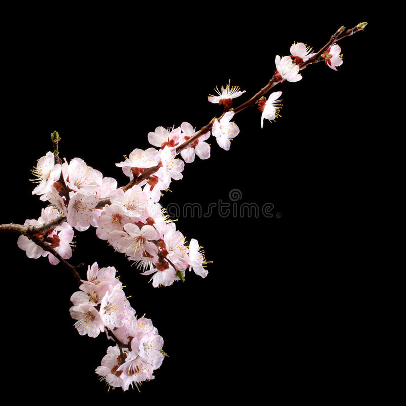 Branch with apricot flowers on a dark background. stock images