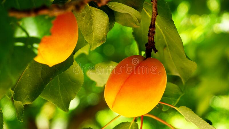 Branch of apricot fruit stock image