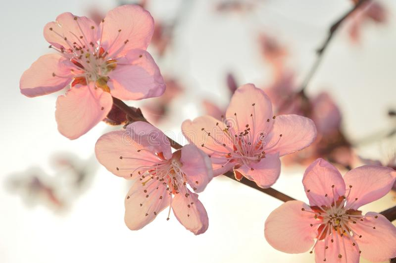 Branch of apricot tree with pink flowers royalty free stock images