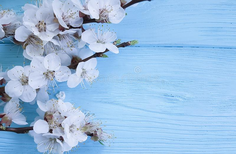 Branch april of blossoming cherry, frame on a blue wooden background stock photos