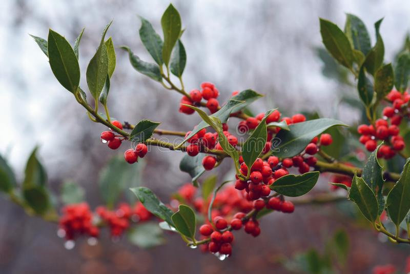 Branch of Aquifoliaceaev Ilex common Holly cultivar JC van Tol plant with red berries and falling raindrops royalty free stock photo