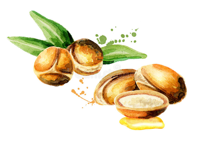 Branch of the argan tree. Can be used as a design element for the decoration of cosmetic or food products using argan oil. Hand-drawn watercolor sketch stock illustration
