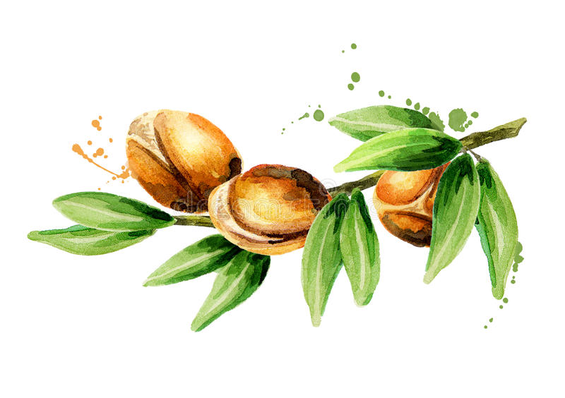 Branch of the argan tree. Can be used as a design element for the decoration of cosmetic or food products using argan oil. Hand-drawn watercolor sketch royalty free illustration