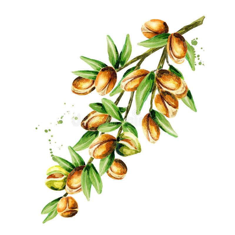 Branch of the argan tree. Can be used as a design element for the decoration of cosmetic or food products using argan oil. Hand-drawn watercolor sketch vector illustration