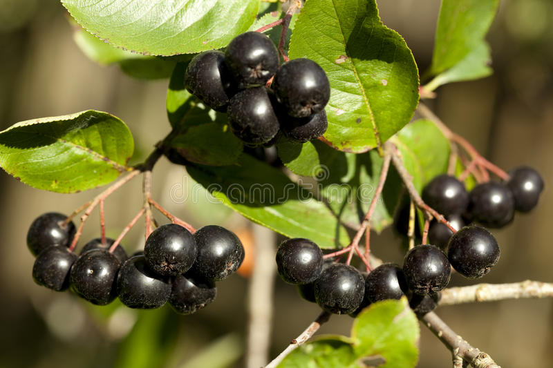 Branch aronia stock photo
