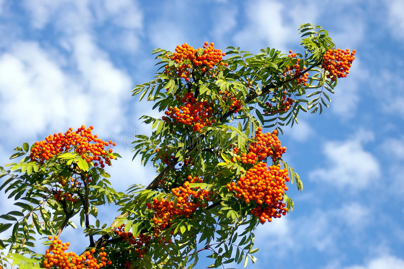 The branch of ashberry royalty free stock photo