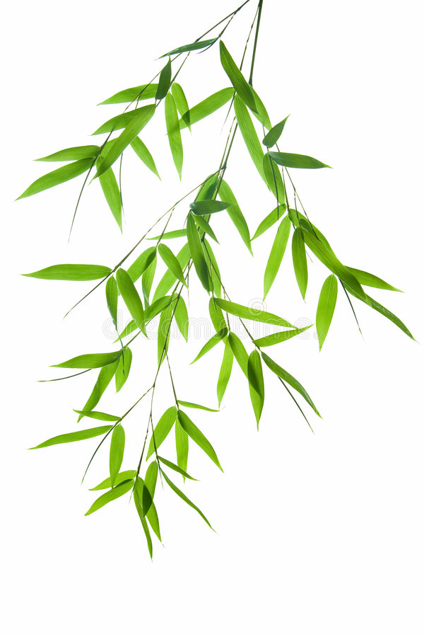 Branch Of Bamboo Stock Photography