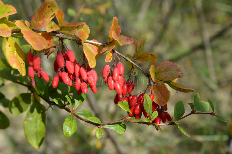 Branch of a barberry ordinary (Berberis vulgaris L.) with berries.  stock image