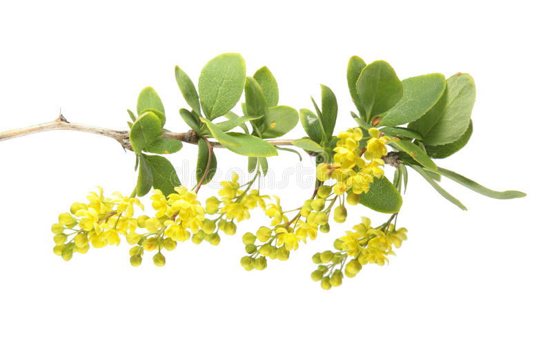 Branch of barberry with yellow flowers isolated on white background stock photo