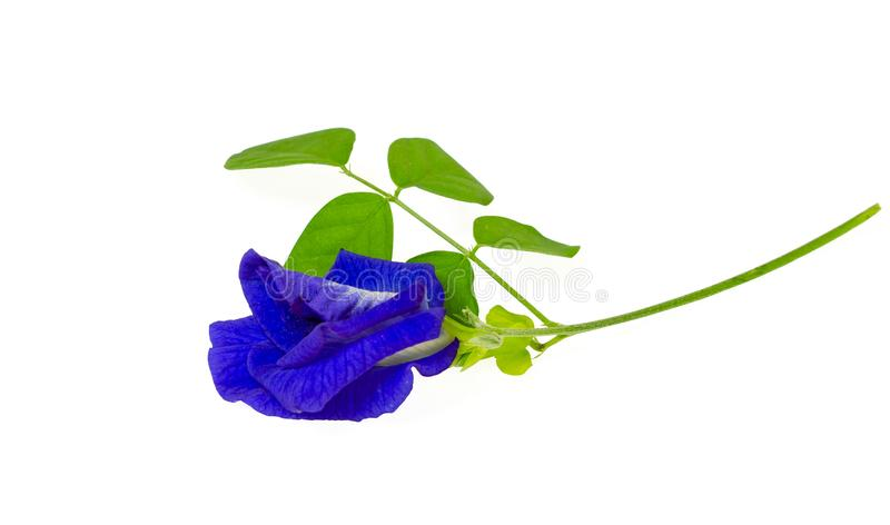 A branch beautiful blue Butterfly pea and green leaf, known as bluebell vine or Asian pigeon wings, isolated on white background. And copy space, dicut with royalty free stock photo