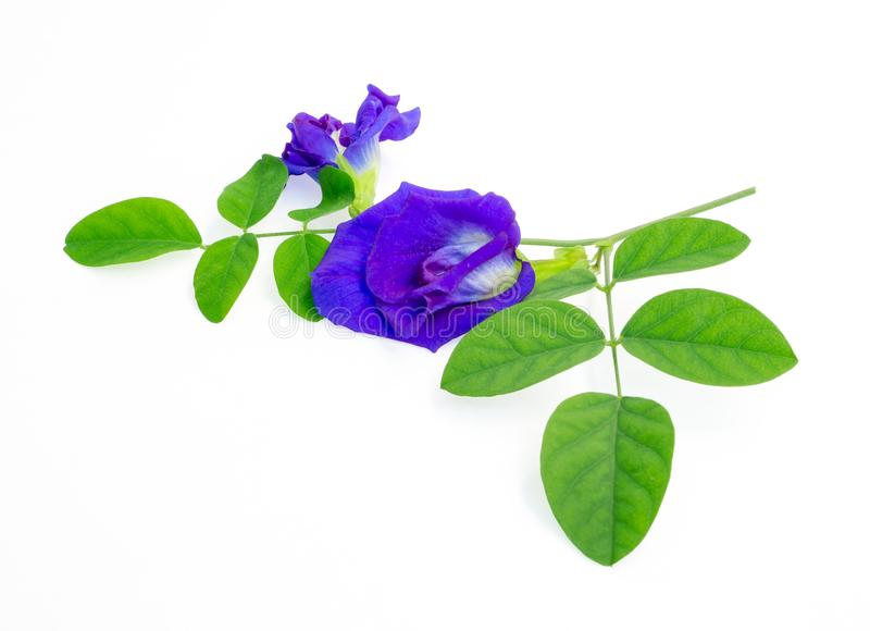 A branch beautiful blue Butterfly pea and green leaf, known as bluebell vine or Asian pigeon wings, isolated on white background. And copy space, dicut with stock photography