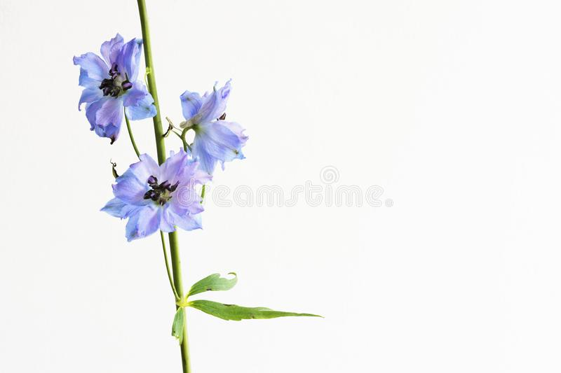 Branch of beautiful Delphinium, islated on white, with empty space for text, etc. N stock photography