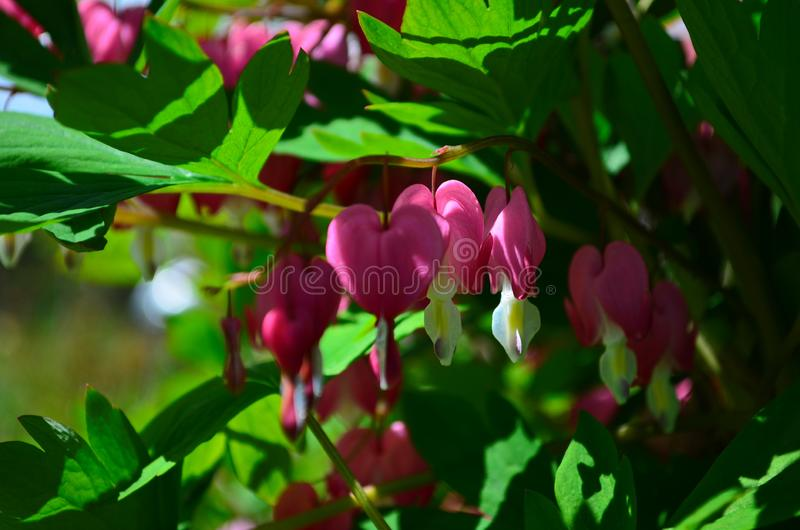 Branch with beautiful pink flowers Dicentra spectabilis. Close up stock photos