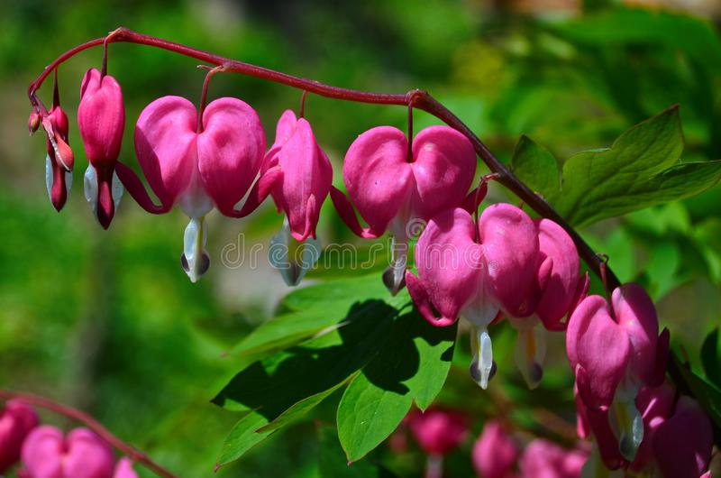 Branch with beautiful pink flowers Dicentra spectabilis. Close up royalty free stock image