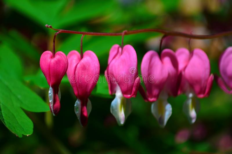 Branch with beautiful pink flowers Dicentra spectabilis. Close up stock photo