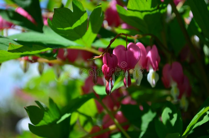 Branch with beautiful pink flowers Dicentra spectabilis. Close up royalty free stock photography