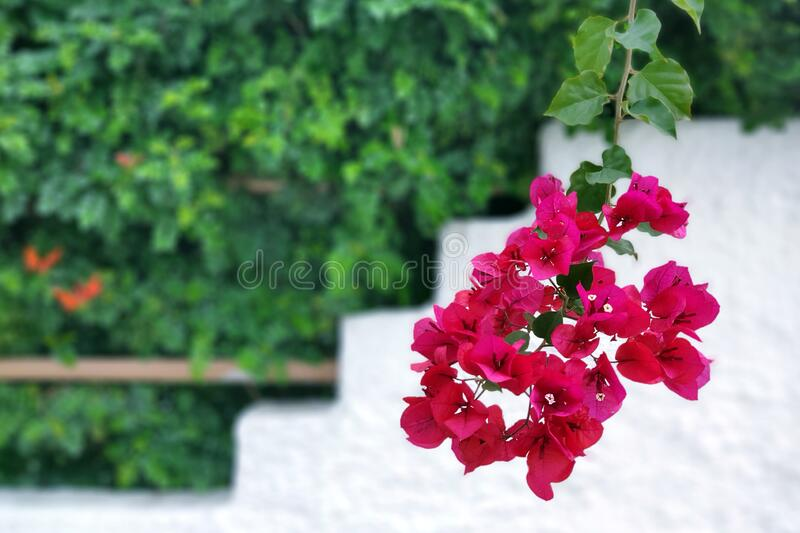 A branch of beautiful red flowers Bougainvillea against a white wall on a sunny day. Greece. stock photos
