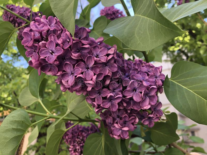 Branch with beautiful spring lilac flowers. royalty free stock photos