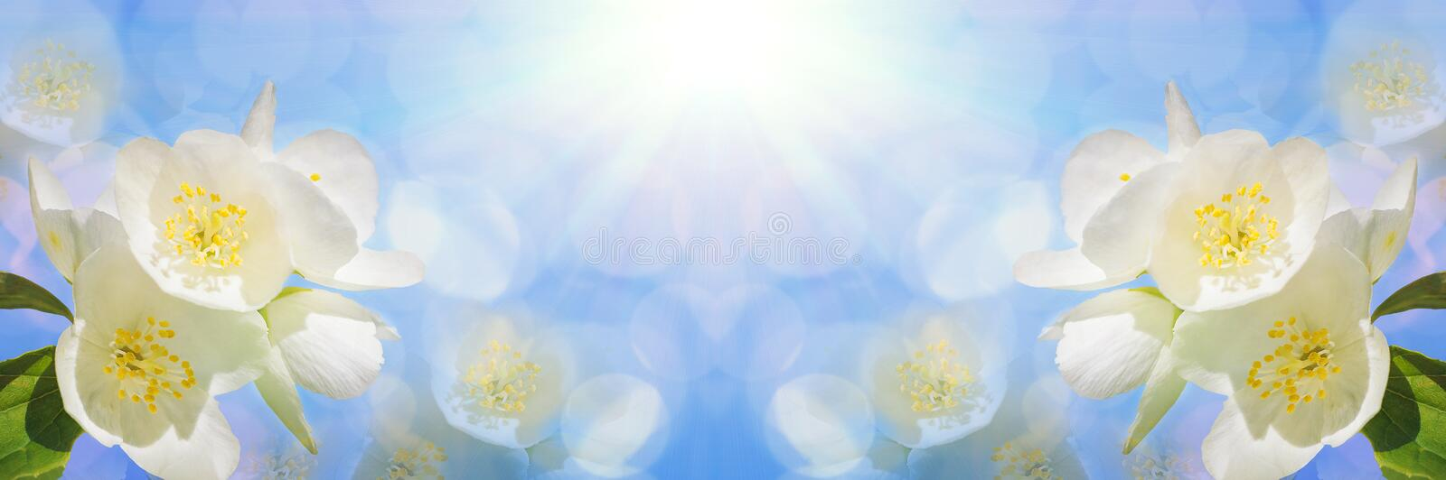 A branch of beautiful white jasmine flowers against a bright blue sky. Panoramic. Image royalty free stock image