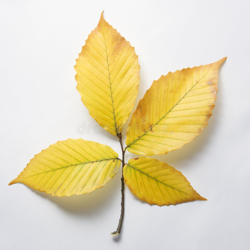 Branch of Beech tree leaves. stock photography