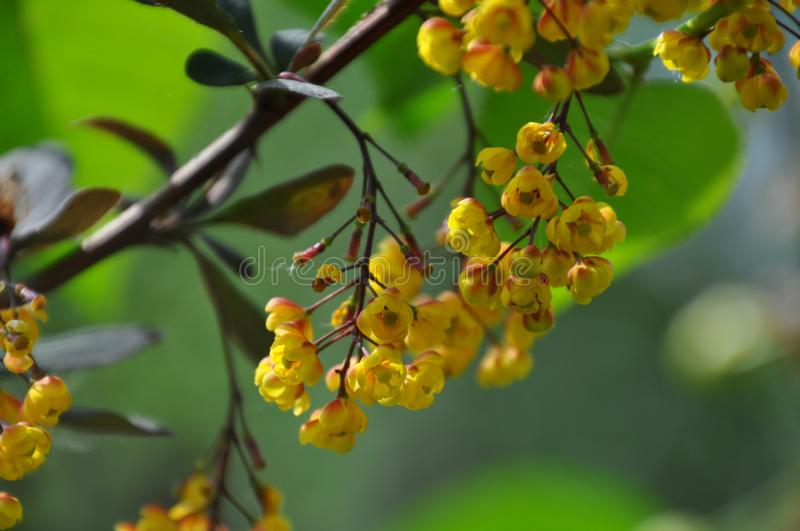 Branch of berberis in blossom. A branch of berberis with flowers. Springtime. Close-up view royalty free stock image