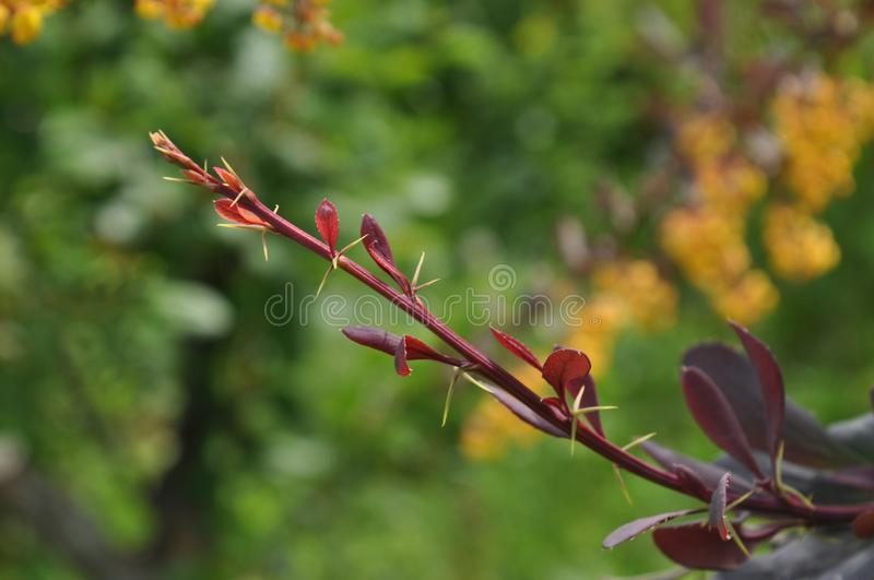 Branch of berberis thunbergii stock images