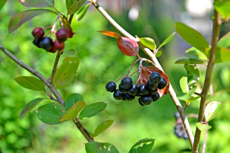 Branch with berries of an aroniya mountain ash black-fruited Aronia melanocarpa Michx. Elliott.  royalty free stock images