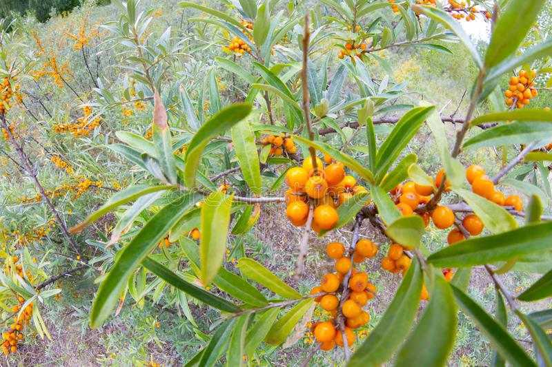 Branch with berries of sea buckthorn. Fish eye lens stock photo