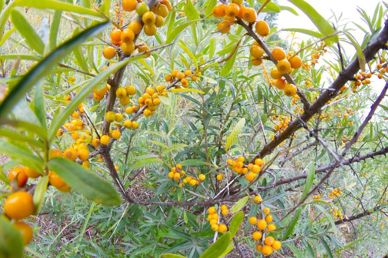 Branch with berries of sea buckthorn. Fish eye lens royalty free stock photos